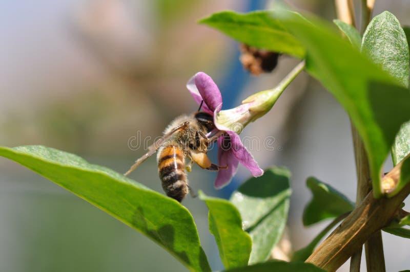 Goji pszczoła i kwiat fotografia stock