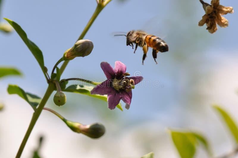 Goji pszczoła i kwiat zdjęcie stock
