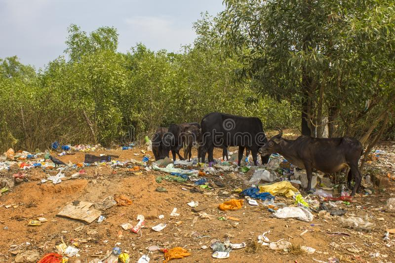 Black cows on the yellow earth against the background of green trees eat plastic trash, the royalty free stock photos