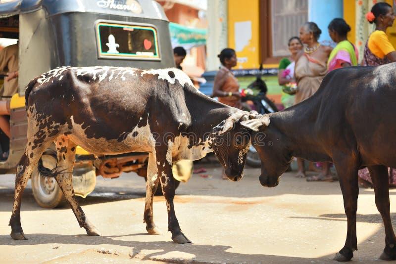 GOKARNA KARNATAKA INDIEN - 29. JANUAR 2016: Zwei Stiere, die in der Straße in Gokarna-Stadt sich stoßen stockfotografie