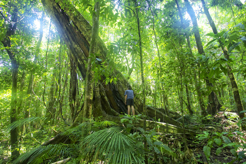 Gola di Mossman dell'albero della foresta pluviale immagini stock libere da diritti