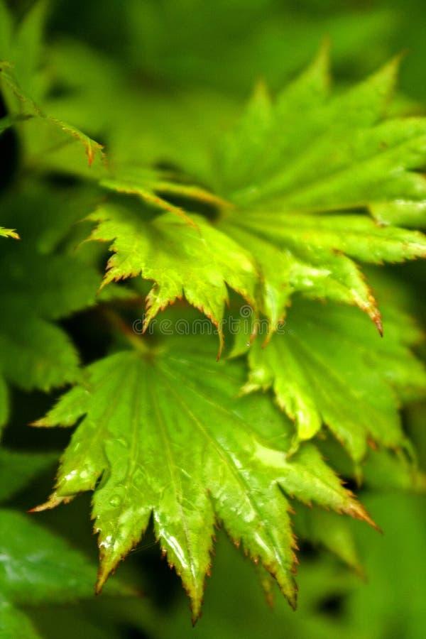 Download Gold Acer stock photo. Image of drop, leaf, aureum, palmatum - 195800