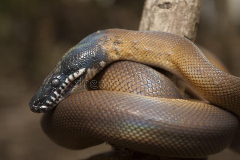 Gold Albertisi/white lipped python Leiopython albertisi royalty free stock image