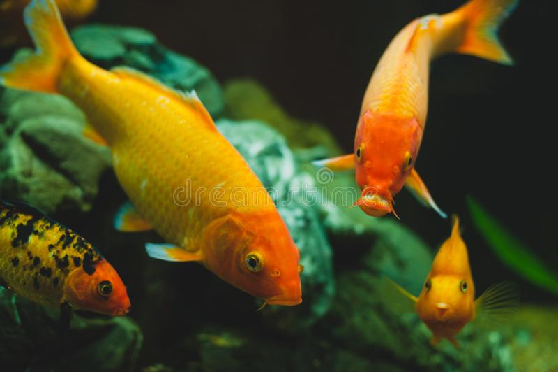 Gold aquarium fishes Carassius auratus stock photo