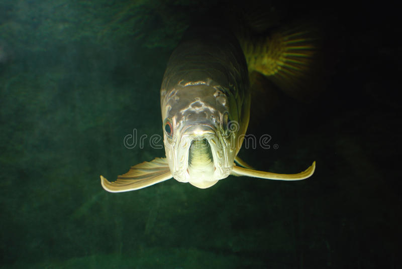 Gold Arowana Underwater Royalty Free Stock Photography