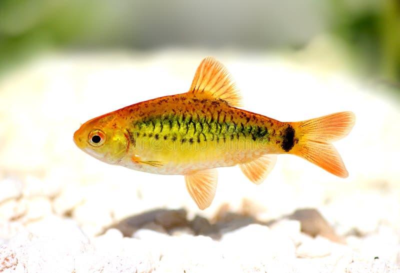 Gold barb Barbodes semifasciolatus Chinese barb aquarium fish. Swarm of Gold barb Barbodes semifasciolatus Chinese barb aquarium fish royalty free stock photography