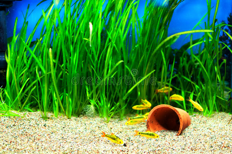 Gold Barb fish in an Aquarium royalty free stock photos