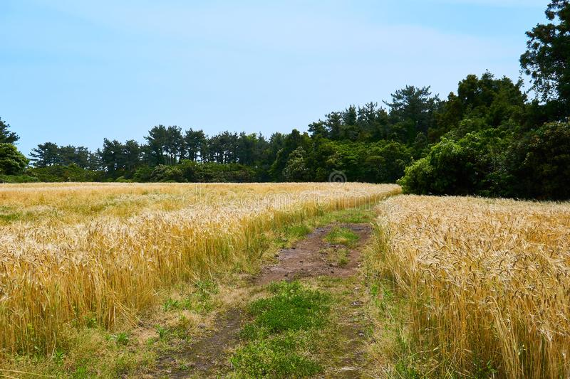 Gold barley field stretched out on both sides of a pathway that leads into a forest in Jeju Island royalty free stock image