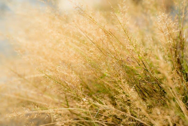 Gold beard grass flower stock image