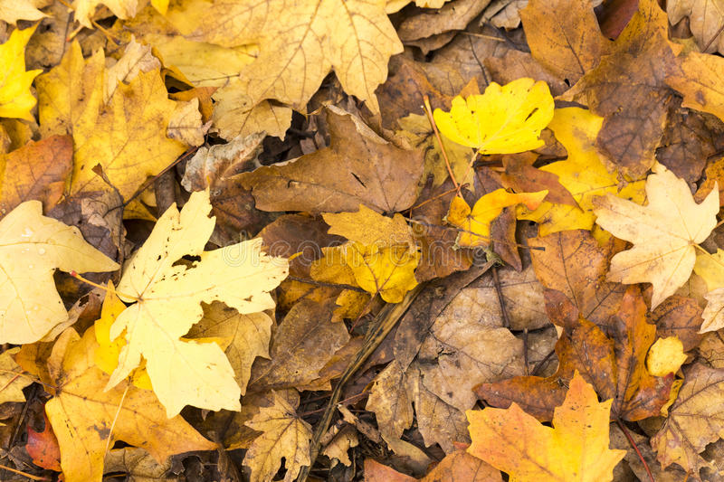 Gold, beige, brown Autumn maple leaves on the ground in Fall. Suitable as background or texture royalty free stock photography