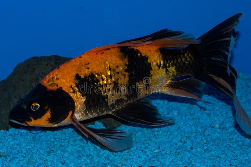 Gold and Black Butterfly Koi. Butterfly koi, longfin koi, or dragon carp are a type of ornamental fish notable for their elongated finnage. The fish are a breed stock photo