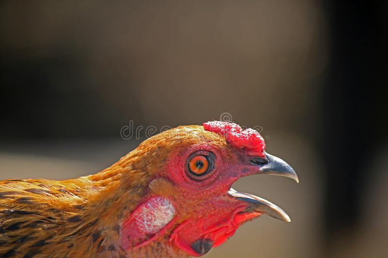 GOLD AND BLACK CHICKEN WITH BEAK OPEN royalty free stock images