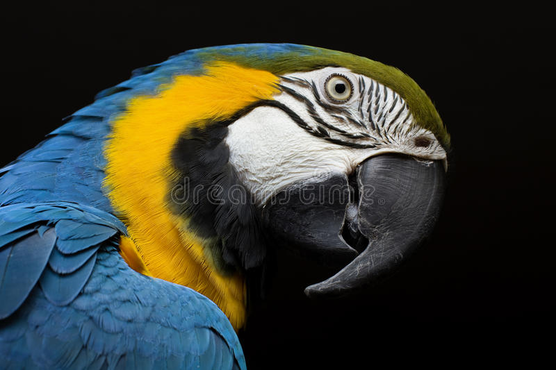 Gold and blue macaw. Portrait royalty free stock photography