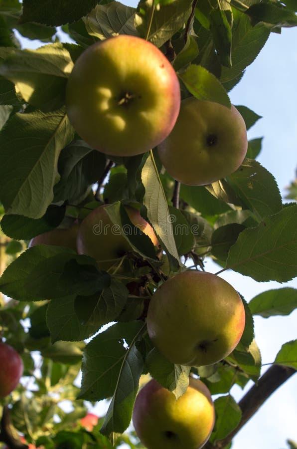 Gold Bohemia Apples stock photo