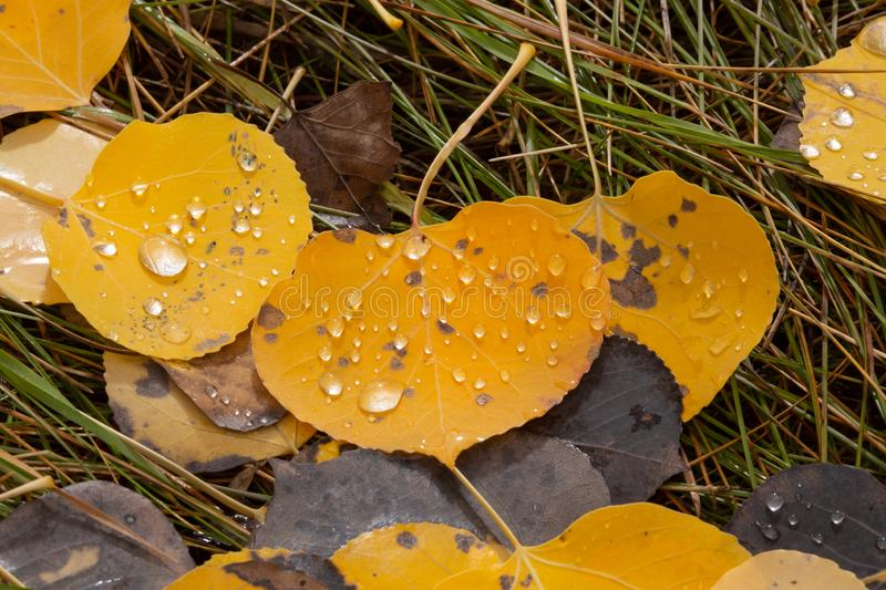 Fallen aspen leaves on a bed of pine needles with rain drops sparkling on the surface. Gold and brown fallen aspen leaves on a bed of pine needles with rain stock photos