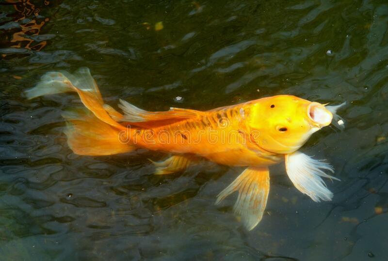 311 Butterfly Koi Fish Photos Free Royalty Free Stock Photos From Dreamstime