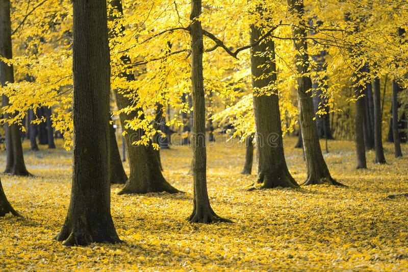 Gold colored leaves in the park. Golden autumn leaves on the ground in the sunny park stock photo