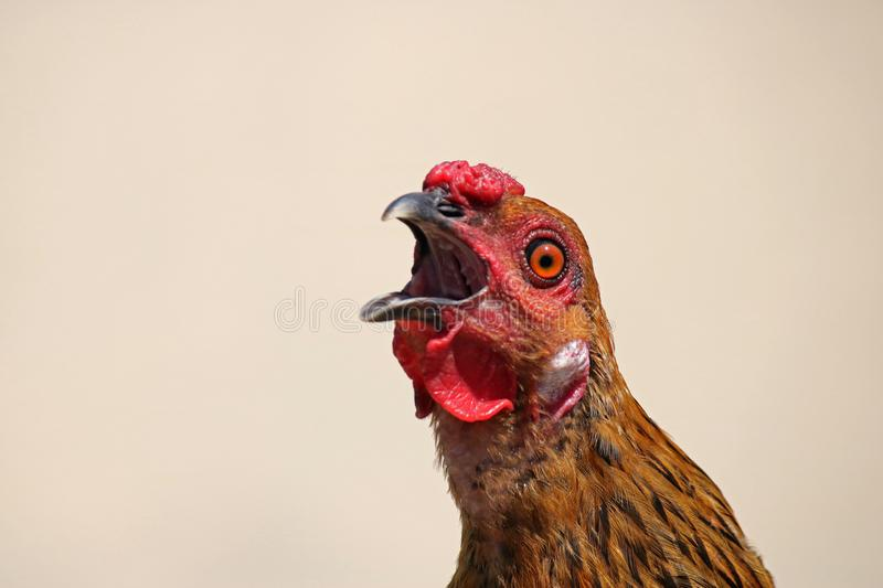 GOLD COLOURED CHICKEN SHRIEKING. Head and face of gold and black coloured hen with red comb and wattle shrieking with open mouth royalty free stock image