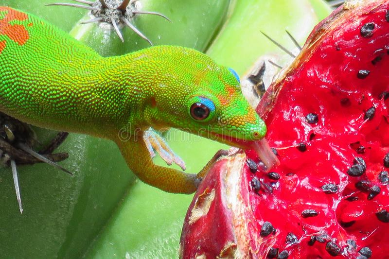 Gold dust day gecko licking the juicy red fruit of a green cactus at Moir Gardens, Kauai, Hawaii. Gold dust day gecko on red fruit at Moir Gardens, Kauai, Hawaii stock image