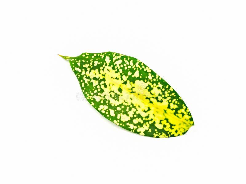 Gold dust dracaena foliage isolated on white stock images