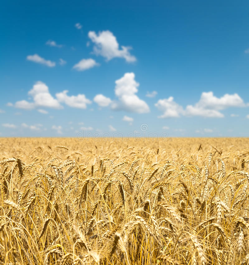 Free Gold Ears Of Wheat Under Sky Royalty Free Stock Photo - 16294725