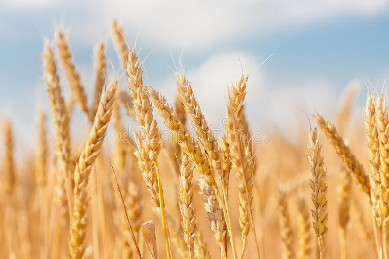 Gold ears of wheat under sky stock image