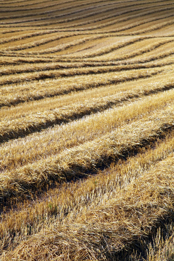 Download Gold field stock image. Image of harvesting, autumn, food - 11319513