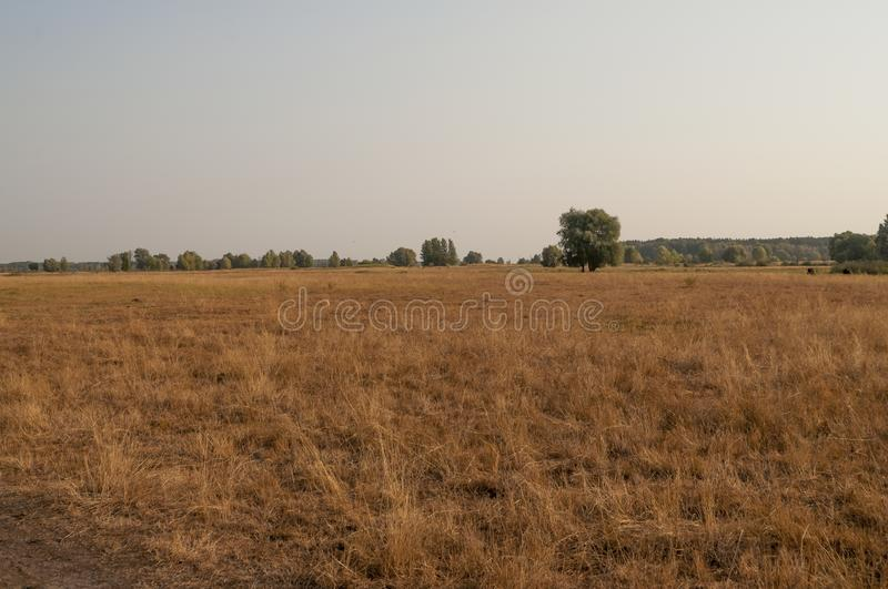 Gold field with trees and cows far away. Autumn landscape stock photography