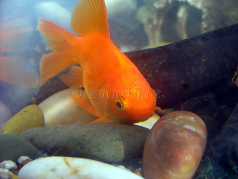 Download Gold fish stock image. Image of fish, fins, gold, water - 105261