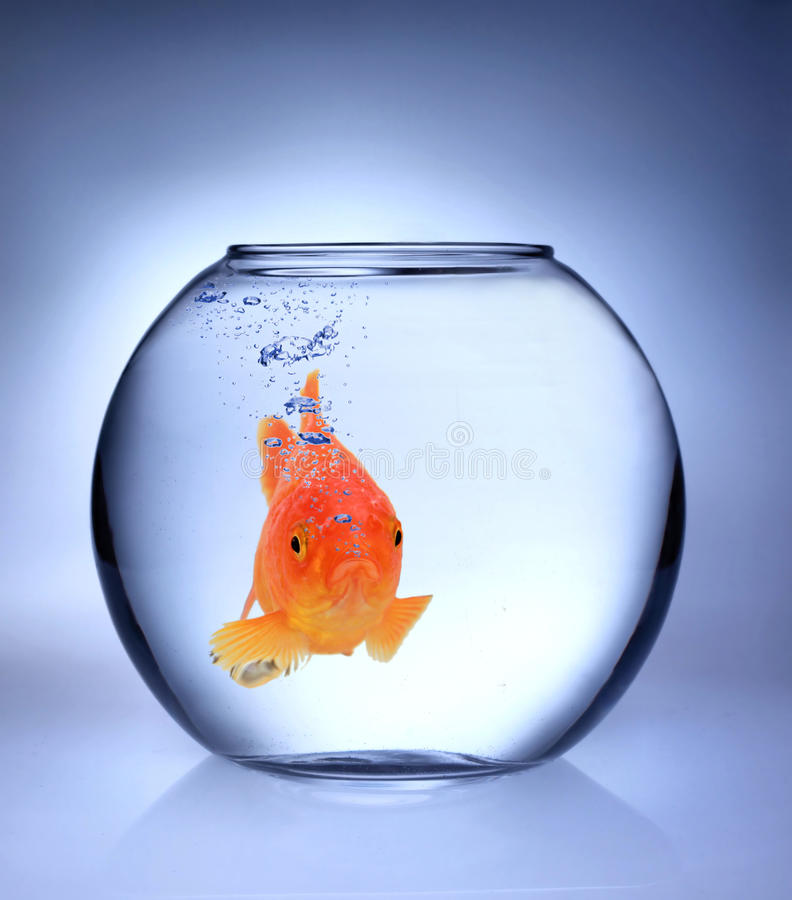 Gold fish royalty free stock images
