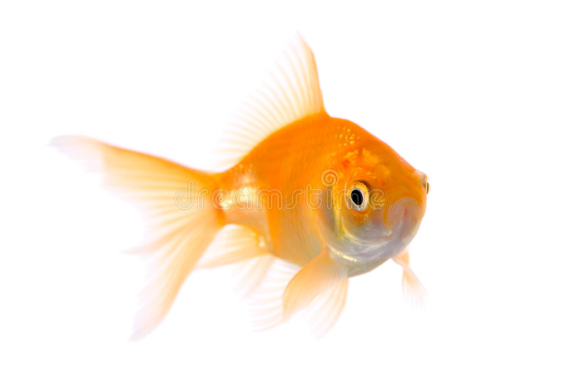 Gold fish. Against white background