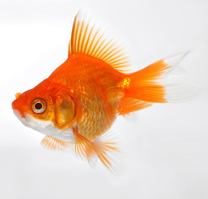 Gold fish. The pretty little gold fish stock photography