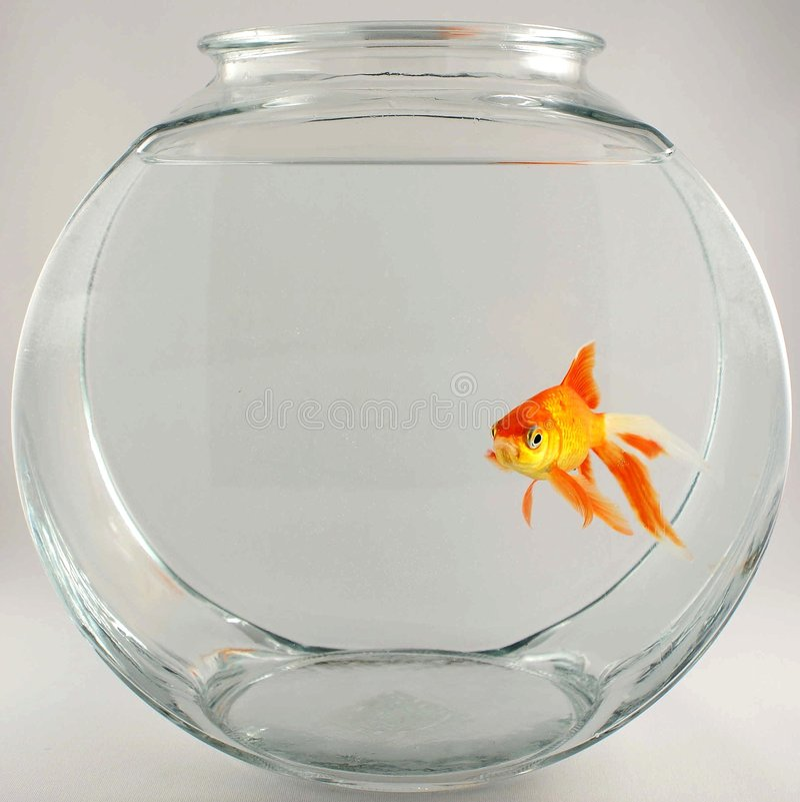 Gold fish 4 royalty free stock photos