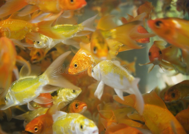 Gold fish. Are breed at some temples in Taiwan royalty free stock image