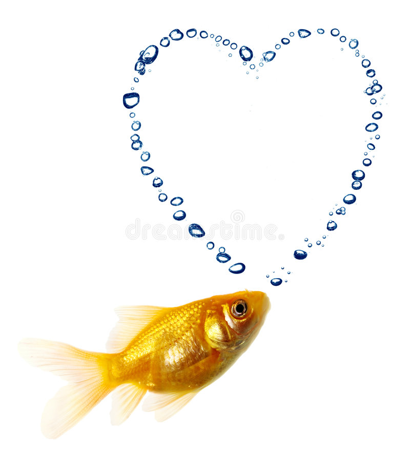 Gold fish. Isolated of the gold fish on white royalty free stock photo