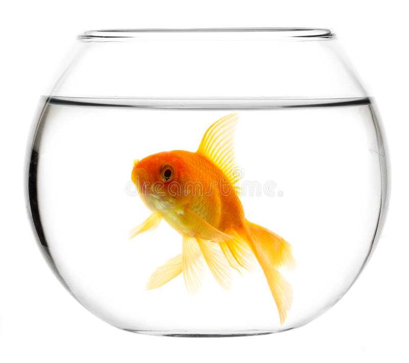 Gold fish in aquarium stock photo