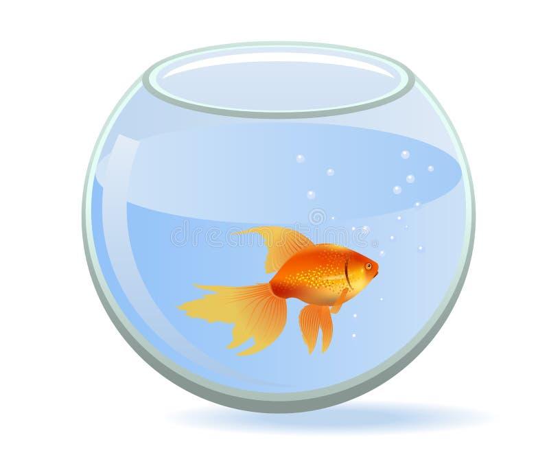 Gold fish in aquarium. One gold fish swiming in round aquarium stock illustration