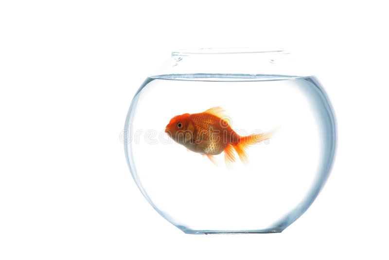 Gold fish in aquarium. An image of goldfish in aquarium royalty free stock photography