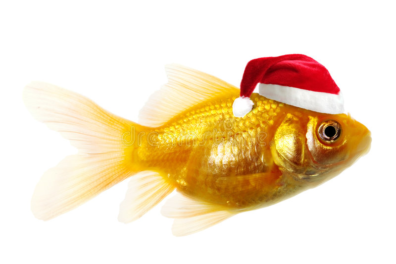 Gold fish as Santa Claus. A gold fish wearing a Santa Claus hat, isolated on white background