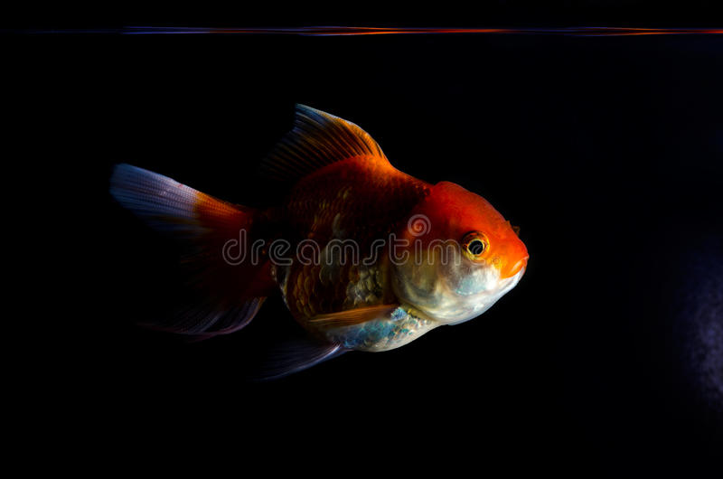 Gold fish on a black - background stock photo