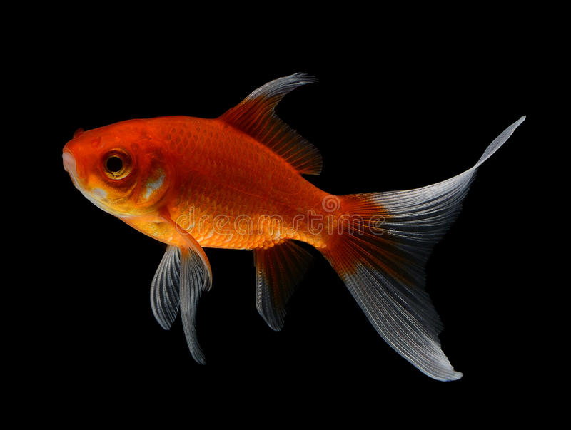 Gold fish on black background stock images