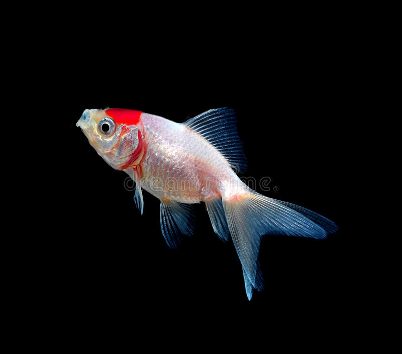 Gold fish on black background stock photography
