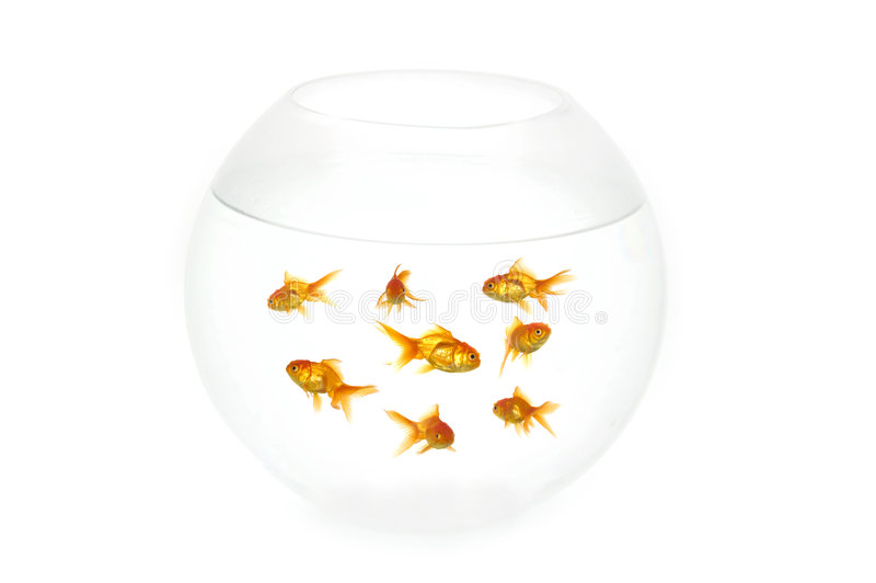 Gold fish in bowl. Many gold fish in a fish bowl. On clean white background royalty free stock image