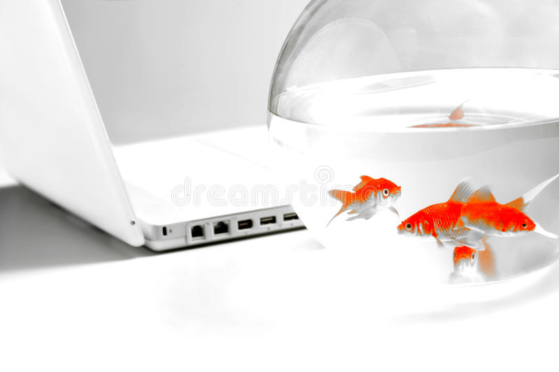 Gold fish in bowl royalty free stock images