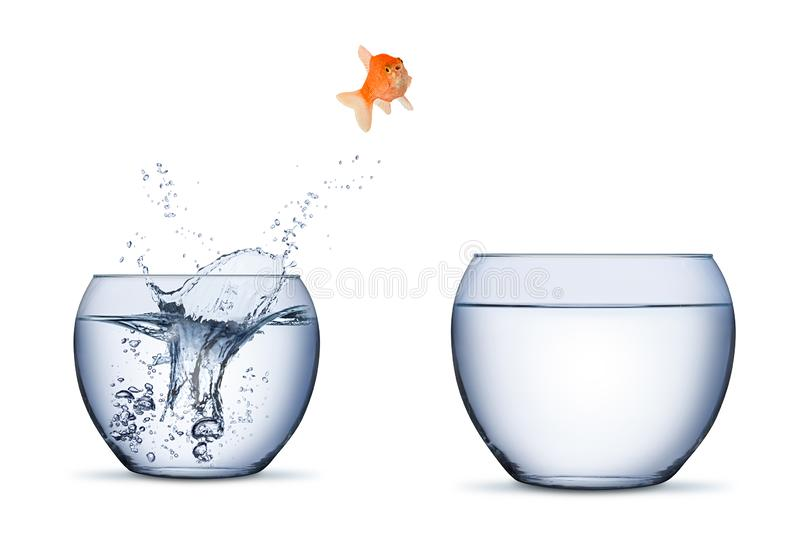 Gold fish change move career opportunity rise concept jump into other bigger bowl isolated. On white background royalty free stock images