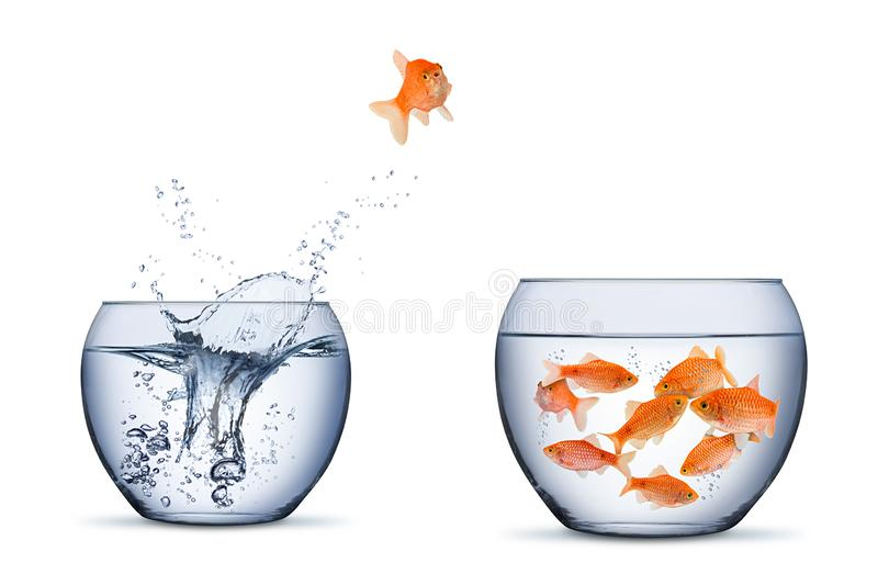 Gold fish change move retrun separartion family teamwork concept jump into other bigger bowl isolated background stock photos