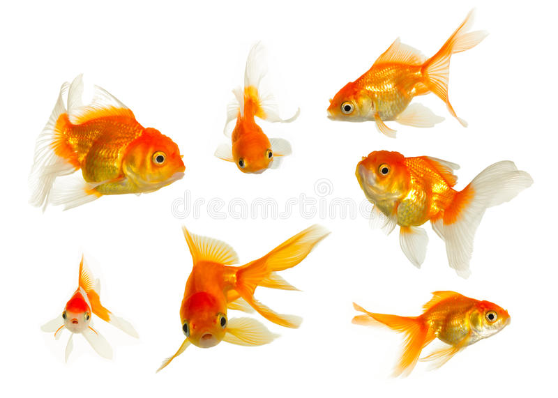 Gold fish collection. Isolated on white background