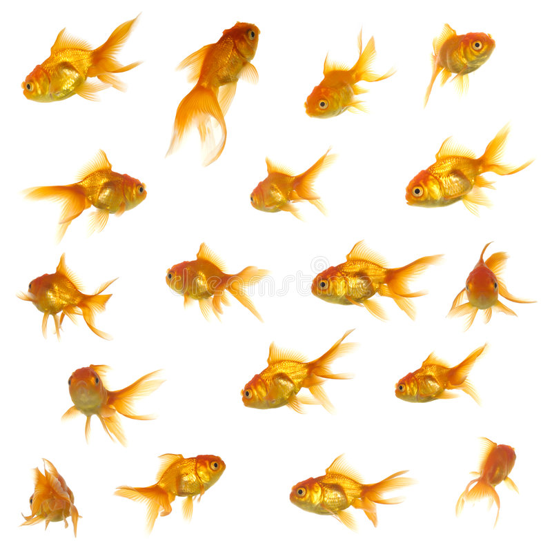Gold fish collection. Collection of goldfish. High resolution 5000 x 5000 pixels. On clean white background