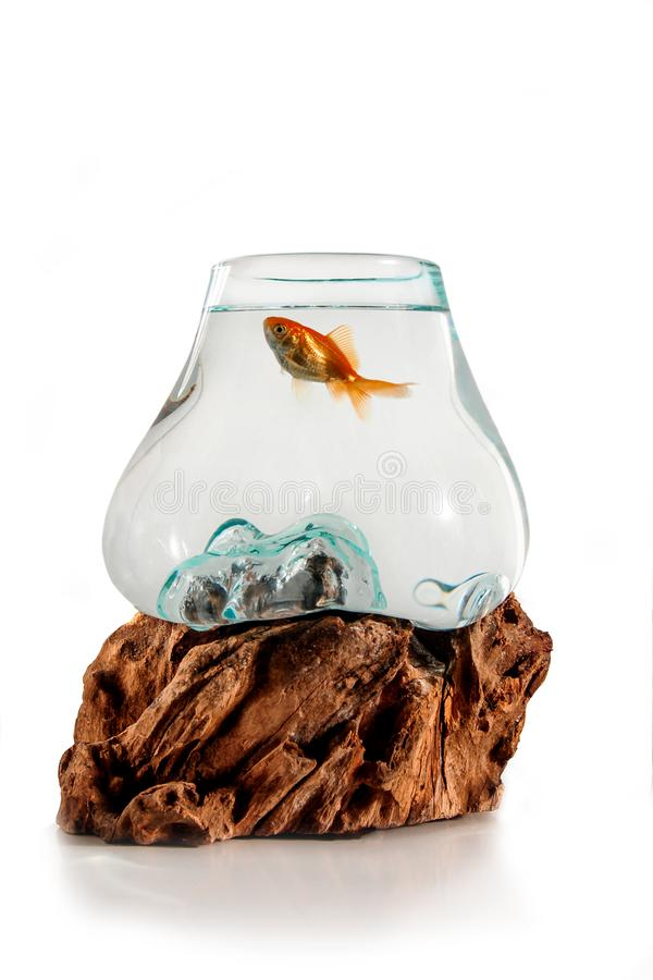 Gold fish in the decorative fishbowl standing on the wooden stand isolation on the white background. Aquarium with fish for royalty free stock images