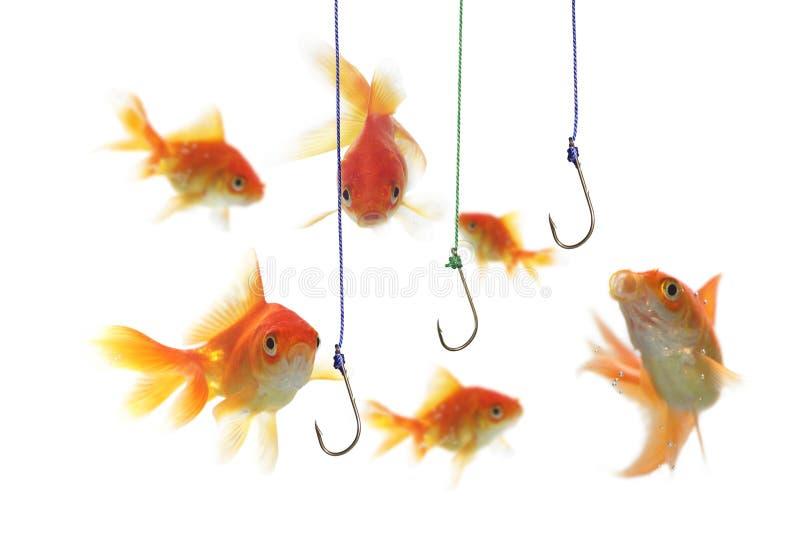 Gold fish and empty hooks. On white background royalty free stock image